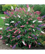 25 Seeds Mix Colors Butterfly Bush (Buddleia davidii) - $7.85