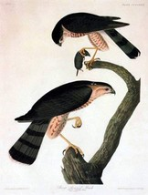 Audubon Sharp Shinned Hawk Bird Art Print 7 in x 10 in, Matted to 11 in ... - $9.99