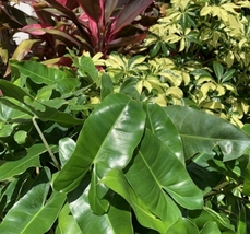 1 Fresh Cutting - Philodendron 'Burle Marx' #HWG13 - $21.99