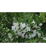 WHITE WEIGELA (Weigela florida white) - $24.99