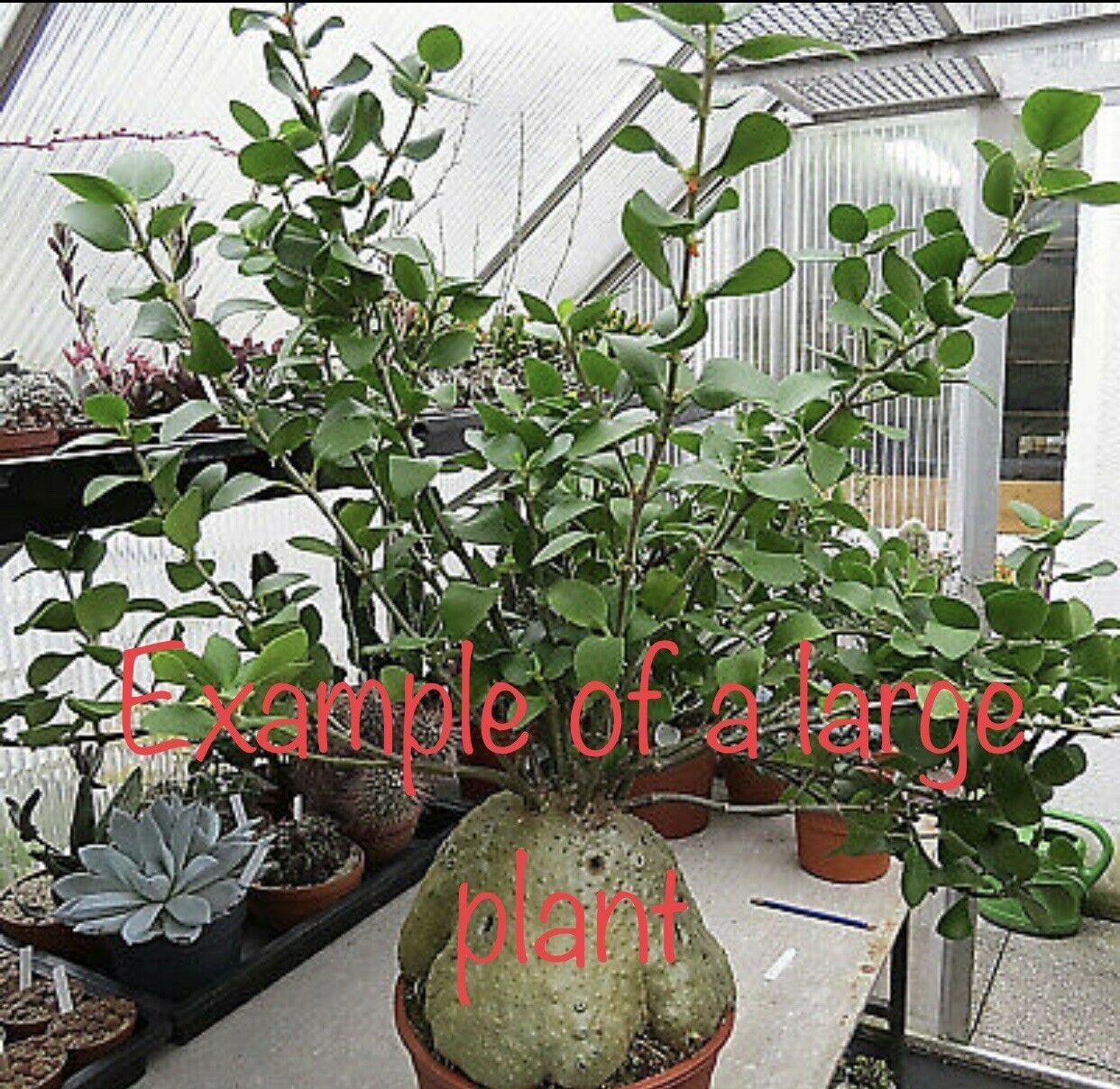 Hydnophytum papaunum And puffii ANT  PLANTS Orchid Companions TWO @ ONE PRICE!
