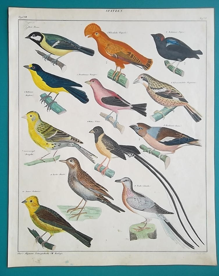 BIRDS Pigeon Lark Tanager Finch Bunting Crossbill Indigo - 1843 HC Color Print