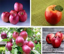 50pcs 10 kinds Apple Seeds 2016 Organic Heirloom Seeds Fruit Seeds NON-GMO - $3.98
