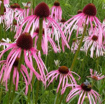100pcs Very Unique and Rare 'Rain Stone' Pink Echinacea Coneflowers Seed... - $15.99