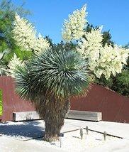 15 Seeds Yucca ROSTRATA - $20.96