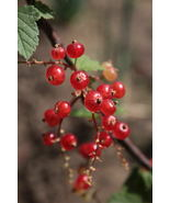 SHIPPED FROM US 40 Wax Currant Edible Fruit Berries Flowers Shrub Seeds,... - $15.00