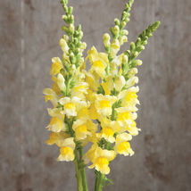 Potomac Yellow Seeds ,Costa Silver Snapdragon Flower Seeds - $21.00