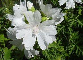 50 White Malva Hollyhock Moschata Flower Seeds - $3.49