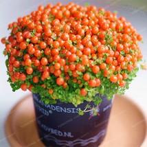 Lamp Bead Grass Seeds Flower Seeds Plant For Home Garden 100 Pcs/Bag - $5.12