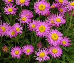 50 Seeds Aster Alpine Pink Aster Alpinus, DIY Decorative Plant ov04 - $9.31