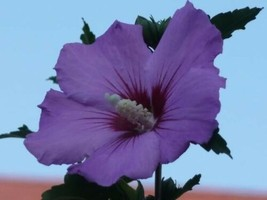 SHIP FROM US 50 PURPLE ROSE OF SHARON HIBISCUS Syriacus Tree Bush Seeds ... - $12.00