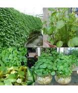 Green Creeping Dichondra Bodendecker Samen Pflanzensamen Potting ElR8 - $2.00