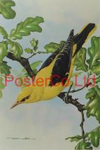 Golden Oriele & Oak Leaves - Basil Ede - Royle 1975 - Framed Vintage Pos... - $51.00
