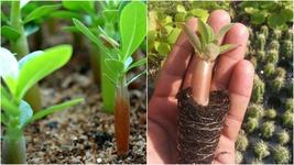 "1x Baby Young Live Adenium Desert Rose Seedlings 3- 5"" Free Seed Growing... - $47.99"