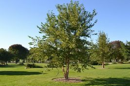 River Birch single stem tree (betulanigra) image 3