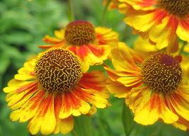 50 Sneezeweed Autumnale Flower Seeds - (Helenium Autumnale) - $7.99