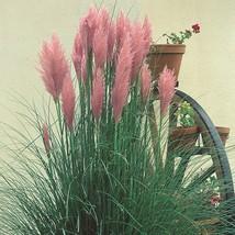 100 Pink Pampas Grass Flower Seeds (Cortaderia selloana) - $4.85