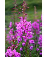 100 Fireweed Flower Seeds (Epilobium Angustifolium) - $8.99