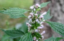 100 Motherwort Herb Seeds - (Leonurus Cardiaca) - $7.99