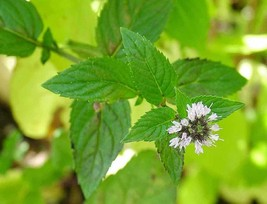 100 Seeds Peppermint - Herb - (Mentha Piperita) - $7.99