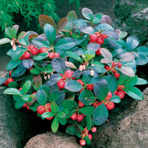 25 Seeds Wintergreen - Gaultheria Procumbens - $4.45