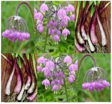 50 Allium Cernuum Seeds - Nodding Pink Onion - $7.99