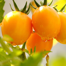 Yellow Tomato Seeds, Balcony fruits Vegetables Tomatoes Potted Bonsai Pl... - $7.50