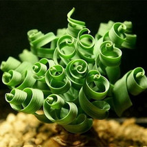 Spring grass seeds Succulents plant Grass seeds bonsai Potted Garden Home Exotic - $7.50