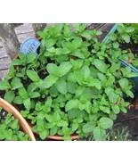 200 Seeds Spearmint (Mentha Spicata) - $7.99