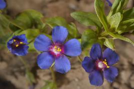 100 Seeds Blue Pimpernel (Anagallis Arvensis Caerulea) - $6.85