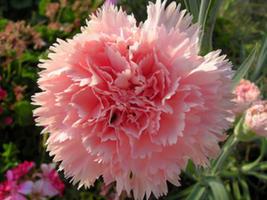 50 Seeds Carnation (Dianthus Caryophyllus Chabaud) La France - $7.99