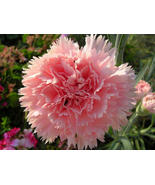 50 Seeds Carnation (Dianthus Caryophyllus Chabaud) La France - $4.85