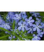 100 Seeds Phlox - Blue Beauty (Drummondii Nana Compacta) - $7.99