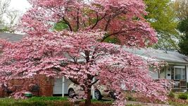 "Pink Dogwood tree 8-12"" tall 2 1/2"" pot image 5"