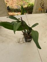 """4"""" Pot. Golden Dancer 'NN' CATTLEYA Orchid Plant Pot BLOOMING SIZE 0408e image 2"""