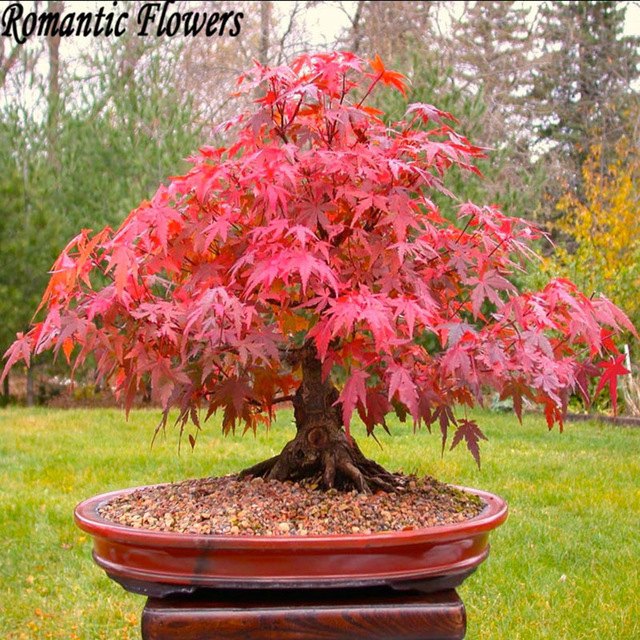 50 pcs bonsai maple tree seeds Grow your own bonsai