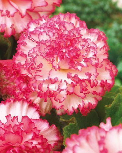 Begonia Tuberosa Rose Petticoat Non Stop and 50 similar items