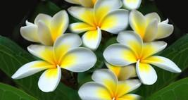 Plumeria, Frangipani Flower Seeds - $2.99
