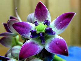 Aak Flower,Milkweed Flower Seeds - $3.99