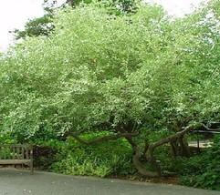 500 Autumn Olive Tree Seeds, Elaeagnus Umbellata - $19.60