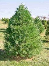 500 Eastern White Pine Tree Seeds, Pinus Strobus, Lake States - $24.50
