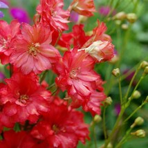 25 Seeds Delphinium Red Flower Seeds Larkspur Fast Annual - $18.52
