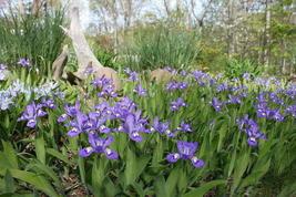 5 Crested Iris,wild iris roots,Iris cristata  image 5