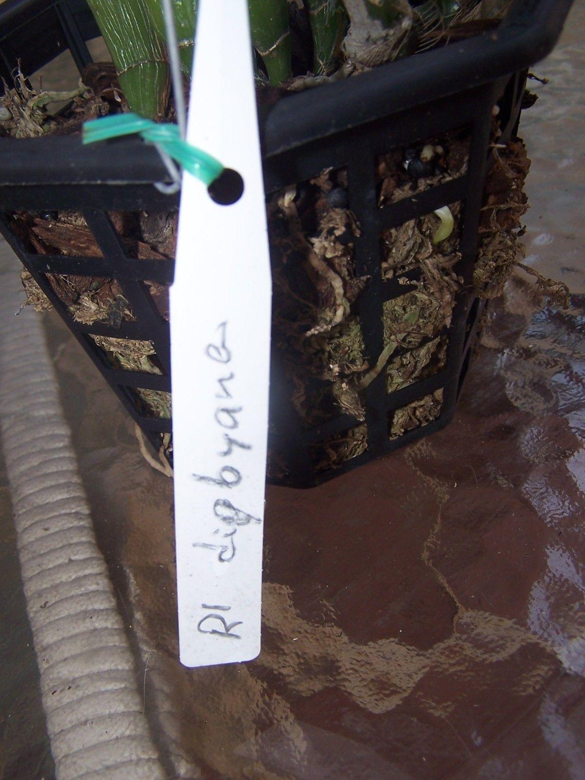 """Live Orchid Plant Cattleya Rhyncholaelia digbyana  Species 6"""" Pot"""