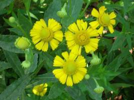 Organic Native Plant, Sneezeweed, Helenium auntumnal - $3.75