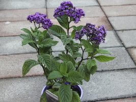 50 Heliotrope (Heliotropium Arborescens Extra Dwarf) Marine Flower Seeds - $4.85