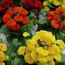 50 Mix Slipper Flower Seeds (Calceolaria Herbeohybrida) Fascination - $4.85