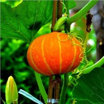 Red Cute Pumpkin Seeds Vegetables, 10g/bag Red chestnut pumpkin Plant seeds - $9.99