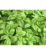 150 Seeds Basil Lime - Ocimum Basilicum - $7.99