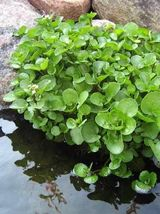100 Seeds Watercress (Nasturtium Officinale) - $7.99